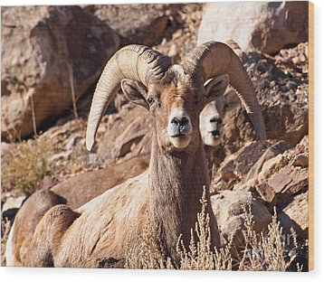 Desert Bighorn Sheep Wood Print by Nadja Rider