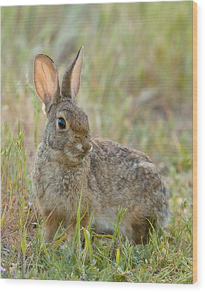 Desert Cottontail Wood Print by Doug Herr