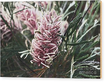 Dew Covered Grevillea Wood Print by Cassandra Buckley