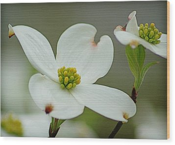 Dew-kissed Dogwood Wood Print