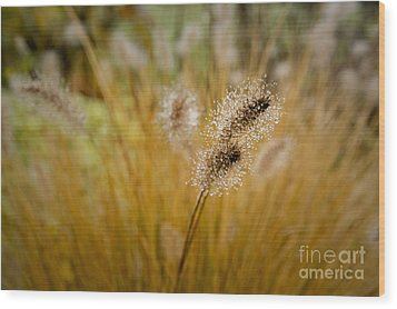 Dew On Ornamental Grass No. 4 Wood Print