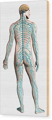 Diagram Of Human Nervous System Wood Print by Leonello Calvetti