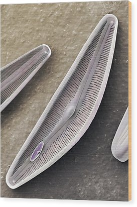 Diatom Frustules (sem) Wood Print by Science Photo Library