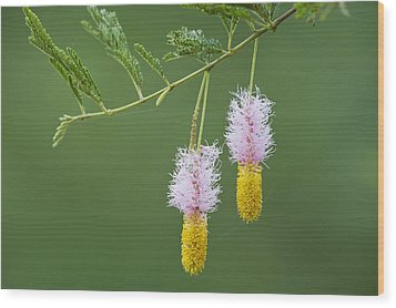 Dichrostachys Cinerea Flowers Wood Print by Science Photo Library