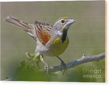 Dickcissel Wood Print by Gary Holmes