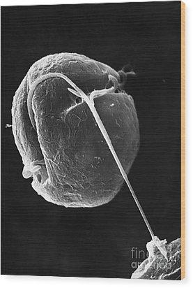Dinoflagellate Wood Print by David M. Phillips
