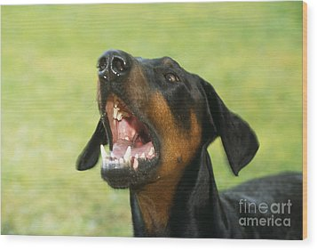 Doberman Pinscher Dog Wood Print by John Daniels