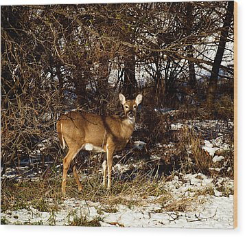 Doe From The Tangle Wood Print by Thomas Young