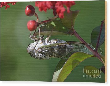 Dog Day Cicada Wood Print by Kathy Gibbons