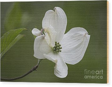 Dogwood Blossom Wood Print by Arlene Carmel