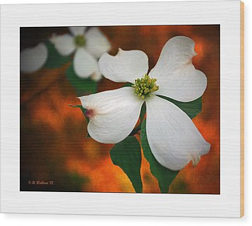 Dogwood Blossom Wood Print by Brian Wallace