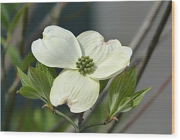 Wood Print featuring the photograph Dogwood by Cindy McDaniel