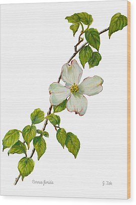 Dogwood - Cornus Florida Wood Print