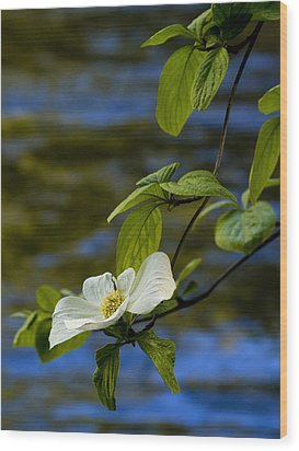 Dogwood On The Merced Wood Print