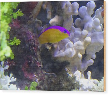 Dottyback After Dinner Wood Print