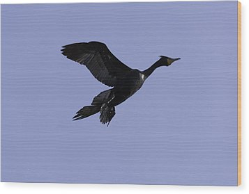Double-crested Cormorant Coming In. Wood Print