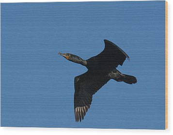 Double-crested Cormorant In Flight Wood Print