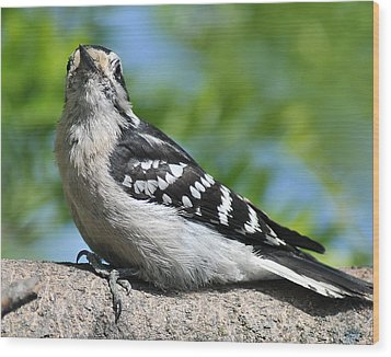 Downy Woodpecker 302 Wood Print