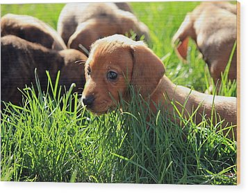 Doxies Wood Print by Velvetdawn Custer