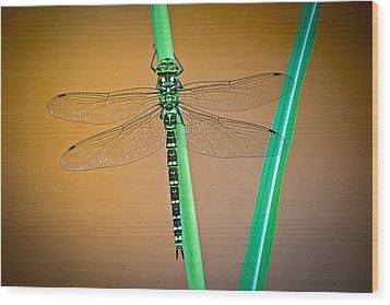 dragonfly Aeshna cyanea Wood Print