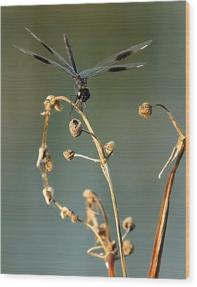 Wood Print featuring the photograph Dragonfly I by Dawn Currie