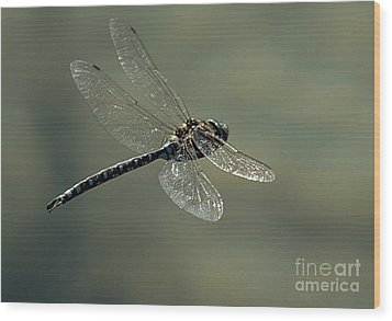 Dragonfly In Flight Wood Print by Bob Christopher