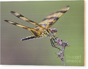 Wood Print featuring the photograph The Halloween Pennant Dragonfly by Olga Hamilton