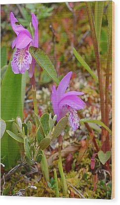 Dragon's Mouth Orchids #2 Wood Print by Sandra Updyke