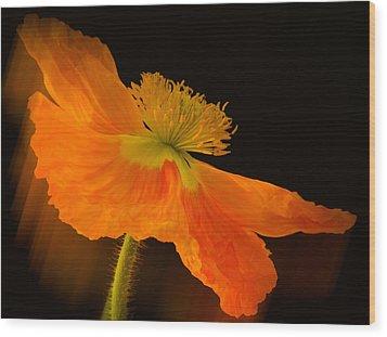 Dramatic Orange Poppy Wood Print by Don Schwartz