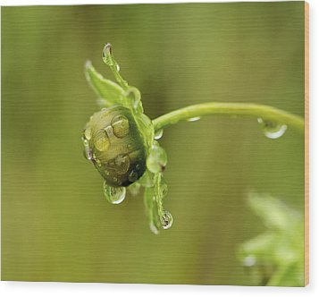 Drip Drip - Raindrops On Coreopsis  Wood Print by Jane Eleanor Nicholas