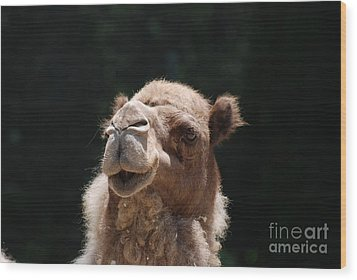 Dromedary Camel Face Wood Print by DejaVu Designs