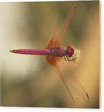 Dropwing Dragonfly Wood Print by Paul Cowan