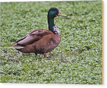 Duck On Watercress Wood Print by David Warner
