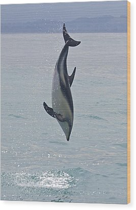 Dusky Dolphin, Kaikoura, New Zealand Wood Print by Venetia Featherstone-Witty