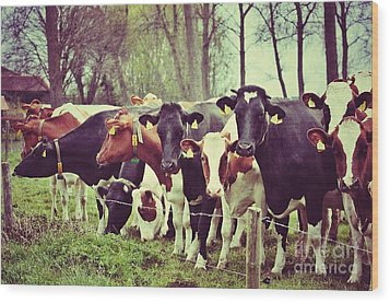 Wood Print featuring the photograph Dutch Cows by Nick  Biemans