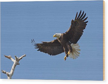 Wood Print featuring the photograph Eagle Landing 2 by Phil Stone