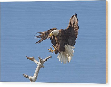 Wood Print featuring the photograph Eagle Landing At Bayonne Preserve by Phil Stone