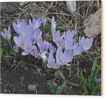 Early Crocuses Wood Print by Donald S Hall