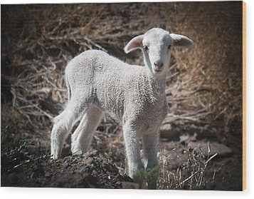 Wood Print featuring the photograph March Lamb by Jan Davies