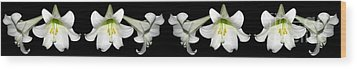 Easter Lilies Panorama Wood Print by Rose Santuci-Sofranko
