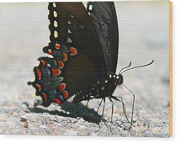 Eastern Black Swallowtail Wood Print