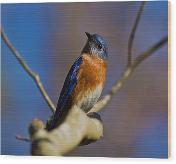Eastern Bluebird Wood Print