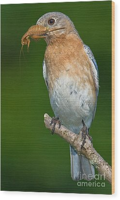 Wood Print featuring the photograph Eastern Bluebird With Katydid by Jerry Fornarotto