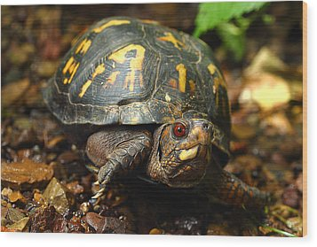 Eastern Box Turtle Wood Print by Michael Eingle