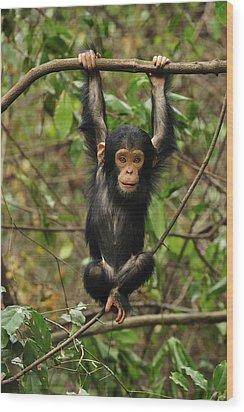 Eastern Chimpanzee Baby Hanging Wood Print by Thomas Marent