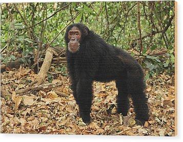 Eastern Chimpanzee Gombe Stream Np Wood Print by Thomas Marent