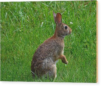 Eastern Cottontail Wood Print by Kathy Eickenberg