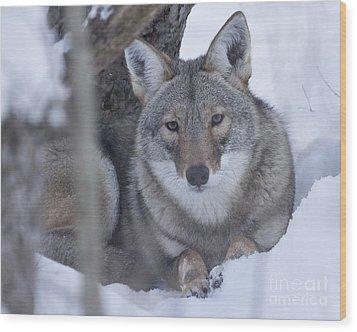 Eastern Coyote In Winter Wood Print by Deborah Smith