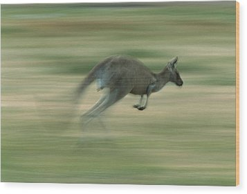 Eastern Grey Kangaroo Female Hopping Wood Print by Ingo Arndt