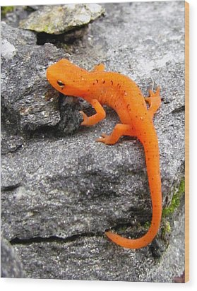 Orange Julius The Eastern Newt Wood Print